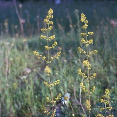 Flowers: Galium verum. ~ By Frank Bramley. ~ Copyright © 2020 New England Wild Flower Society. ~ Image Request, images[at]newenglandwild.org
