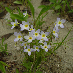 Plant form: Houstonia caerulea. ~ By Arthur Haines. ~ Copyright © 2018. ~ arthurhaines[at]wildblue.net