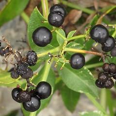 Fruits: Rubia tinctoria. ~ By Robert Flogaus-Faust. ~ Copyright © 2019 Robert Flogaus-Faust. ~ http://www.flogaus-faust.de/bc/mail.htm ~ Fotografien von Wildpflanzen - www.flogaus-faust.de