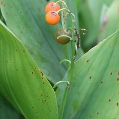 Fruits: Convallaria majalis. ~ By Arieh Tal. ~ Copyright © 2017 Arieh Tal. ~ http://botphoto.com/ ~ Arieh Tal - botphoto.com