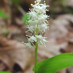 Flowers: Maianthemum canadense. ~ By Arthur Haines. ~ Copyright © 2018. ~ arthurhaines[at]wildblue.net