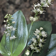 Flowers: Maianthemum canadense. ~ By Adelaide Pratt. ~ Copyright © 2018 New England Wild Flower Society. ~ Image Request, images[at]newenglandwild.org