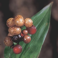 Fruits: Maianthemum canadense. ~ By Adelaide Pratt. ~ Copyright © 2019 New England Wild Flower Society. ~ Image Request, images[at]newenglandwild.org