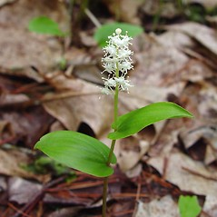 Plant form: Maianthemum canadense. ~ By Arthur Haines. ~ Copyright © 2018. ~ arthurhaines[at]wildblue.net