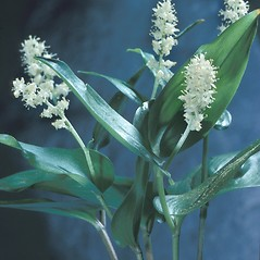 Plant form: Maianthemum canadense. ~ By Adelaide Pratt. ~ Copyright © 2018 New England Wild Flower Society. ~ Image Request, images[at]newenglandwild.org