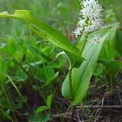 Plant form: Maianthemum canadense. ~ By Glen Mittelhauser. ~ Copyright © 2017 Glen Mittelhauser. ~ www.mainenaturalhistory.org