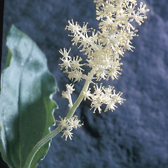 Inflorescences: Maianthemum canadense. ~ By Adelaide Pratt. ~ Copyright © 2018 New England Wild Flower Society. ~ Image Request, images[at]newenglandwild.org