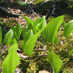 Leaves: Maianthemum canadense. ~ By Donna Kausen. ~ Copyright © 2018 Donna Kausen. ~ 33 Bears Den, Addison, ME 04606