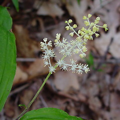 Flowers: Maianthemum racemosum. ~ By Arthur Haines. ~ Copyright © 2018. ~ arthurhaines[at]wildblue.net