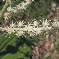 Flowers: Maianthemum racemosum. ~ By Marilee Lovit. ~ Copyright © 2018 Marilee Lovit. ~ lovitm[at]gmail.com