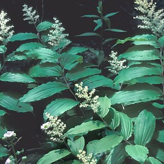 Plant form: Maianthemum racemosum. ~ By Frank Bramley. ~ Copyright © 2018 New England Wild Flower Society. ~ Image Request, images[at]newenglandwild.org