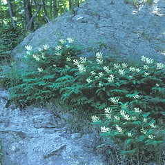 Plant form: Maianthemum racemosum. ~ By Jean Baxter. ~ Copyright © 2018 New England Wild Flower Society. ~ Image Request, images[at]newenglandwild.org