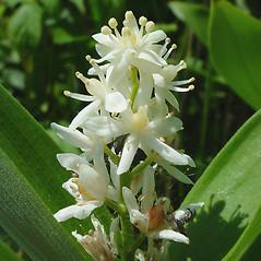 Flowers: Maianthemum stellatum. ~ By Glen Mittelhauser. ~ Copyright © 2018 Glen Mittelhauser. ~ www.mainenaturalhistory.org