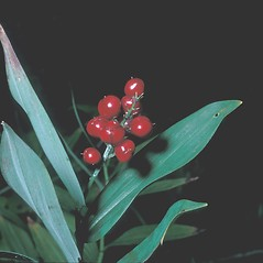 Fruits: Maianthemum stellatum. ~ By Frank Bramley. ~ Copyright © 2018 New England Wild Flower Society. ~ Image Request, images[at]newenglandwild.org