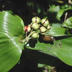 Fruits: Maianthemum stellatum. ~ By Marilee Lovit. ~ Copyright © 2018 Marilee Lovit. ~ lovitm[at]gmail.com