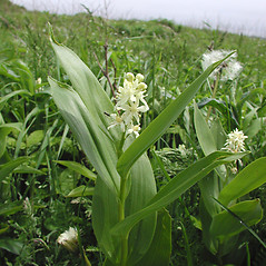 Inflorescences: Maianthemum stellatum. ~ By Marilee Lovit. ~ Copyright © 2019 Marilee Lovit. ~ lovitm[at]gmail.com