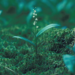 Plant form: Maianthemum trifolium. ~ By David Stone. ~ Copyright © 2018 New England Wild Flower Society. ~ Image Request, images[at]newenglandwild.org