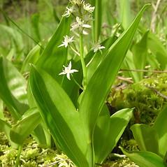 Plant form: Maianthemum trifolium. ~ By Glen Mittelhauser. ~ Copyright © 2017 Glen Mittelhauser. ~ www.mainenaturalhistory.org