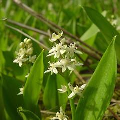 Inflorescences: Maianthemum trifolium. ~ By Glen Mittelhauser. ~ Copyright © 2017 Glen Mittelhauser. ~ www.mainenaturalhistory.org