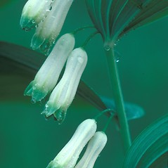 Flowers: Polygonatum biflorum. ~ By Albert Bussewitz. ~ Copyright © 2018 New England Wild Flower Society. ~ Image Request, images[at]newenglandwild.org