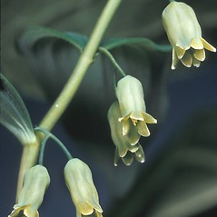 Flowers: Polygonatum biflorum. ~ By Adelaide Pratt. ~ Copyright © 2017 New England Wild Flower Society. ~ Image Request, images[at]newenglandwild.org