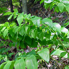 Plant form: Polygonatum pubescens. ~ By Arthur Haines. ~ Copyright © 2017. ~ arthurhaines[at]wildblue.net