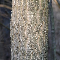 Bark: Phellodendron amurense. ~ By Arieh Tal. ~ Copyright © 2018 Arieh Tal. ~ http://botphoto.com/ ~ Arieh Tal - botphoto.com