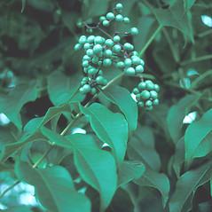 Fruits: Phellodendron amurense. ~ By John Lynch. ~ Copyright © 2018 New England Wild Flower Society. ~ Image Request, images[at]newenglandwild.org
