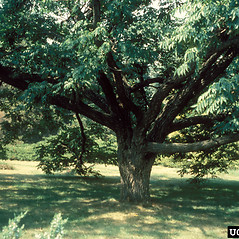 Plant form: Phellodendron amurense. ~ By Richard Webb. ~ Copyright © 2017 CC BY-NC 3.0. ~  ~ Bugwood - www.bugwood.org/