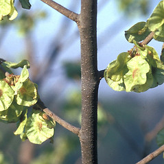 Bark: Ptelea trifoliata. ~ By Frank Bramley. ~ Copyright © 2018 New England Wild Flower Society. ~ Image Request, images[at]newenglandwild.org