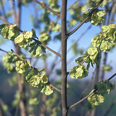 Fruits: Ptelea trifoliata. ~ By Frank Bramley. ~ Copyright © 2019 New England Wild Flower Society. ~ Image Request, images[at]newenglandwild.org