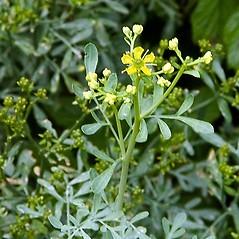 Flowers: Ruta graveolens. ~ By Paul S. Drobot. ~ Copyright © 2019 Paul S. Drobot. ~ www.plantstogrow.com, www.plantstockphotos.com ~ Robert W. Freckmann Herbarium, U. of Wisconsin-Stevens Point