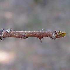 Winter buds: Zanthoxylum americanum. ~ By Arthur Haines. ~ Copyright © 2018. ~ arthurhaines[at]wildblue.net