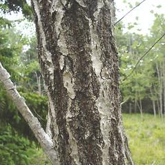 Bark: Populus alba. ~ By Jill Weber. ~ Copyright © 2018 Jill Weber. ~ jillweber03[at]gmail.com