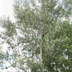 Plant form: Populus alba. ~ By Arieh Tal. ~ Copyright © 2018 Arieh Tal. ~ http://botphoto.com/ ~ Arieh Tal - botphoto.com