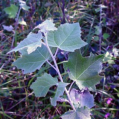 Leaves: Populus alba. ~ By Arthur Haines. ~ Copyright © 2020. ~ arthurhaines[at]wildblue.net
