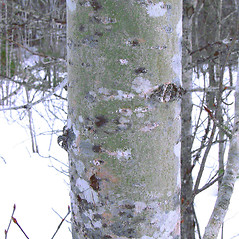 Bark: Populus balsamifera. ~ By Arthur Haines. ~ Copyright © 2019. ~ arthurhaines[at]wildblue.net