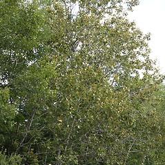 Plant form: Populus balsamifera. ~ By Arieh Tal. ~ Copyright © 2019 Arieh Tal. ~ http://botphoto.com/ ~ Arieh Tal - botphoto.com