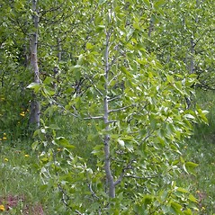 Plant form: Populus balsamifera. ~ By Mary Ellen Harte. ~ Copyright © 2020 CC BY-NC 3.0. ~  ~ Bugwood - www.bugwood.org/