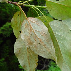 Leaves: Populus balsamifera. ~ By Arthur Haines. ~ Copyright © 2019. ~ arthurhaines[at]wildblue.net