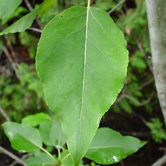 Leaves: Populus balsamifera. ~ By Arthur Haines. ~ Copyright © 2020. ~ arthurhaines[at]wildblue.net