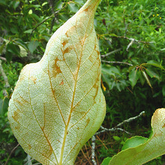 Leaves: Populus balsamifera. ~ By Donna Kausen. ~ Copyright © 2020 Donna Kausen. ~ 33 Bears Den, Addison, ME 04606
