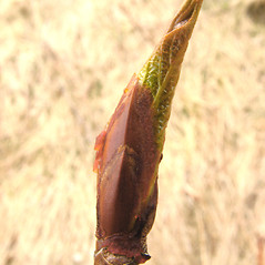 Winter buds: Populus balsamifera. ~ By Donna Kausen. ~ Copyright © 2019 Donna Kausen. ~ 33 Bears Den, Addison, ME 04606