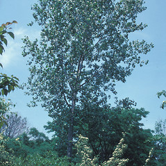 Plant form: Populus deltoides. ~ By John Lynch. ~ Copyright © 2018 New England Wild Flower Society. ~ Image Request, images[at]newenglandwild.org