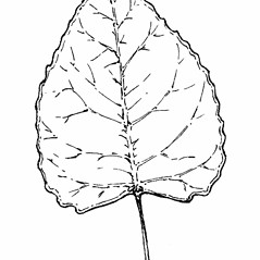 Leaves: Populus deltoides. ~ By Gordon Morrison. ~ Copyright © 2017 New England Wild Flower Society. ~ Image Request, images[at]newenglandwild.org