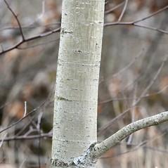 Bark: Populus grandidentata. ~ By Arieh Tal. ~ Copyright © 2019 Arieh Tal. ~ http://botphoto.com/ ~ Arieh Tal - botphoto.com