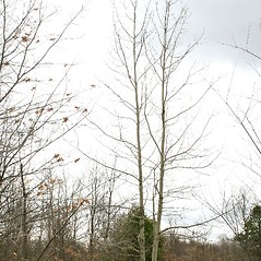 Plant form: Populus grandidentata. ~ By Arieh Tal. ~ Copyright © 2018 Arieh Tal. ~ http://botphoto.com/ ~ Arieh Tal - botphoto.com