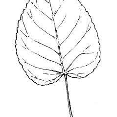 Leaves: Populus heterophylla. ~ By Gordon Morrison. ~ Copyright © 2017 New England Wild Flower Society. ~ Image Request, images[at]newenglandwild.org