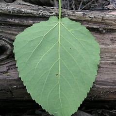 Leaves: Populus heterophylla. ~ By Karen Searcy. ~ Copyright © 2019 Karen Searcy. ~ ksearcy[at]bio.umass.edu