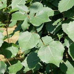 Leaves: Populus tremula. ~ By Charles Brun. ~ Copyright © 2019. ~ brunc[at]wsu.edu ~ Pacific Northwest Plants - www.pnwplants.wsu.edu/
